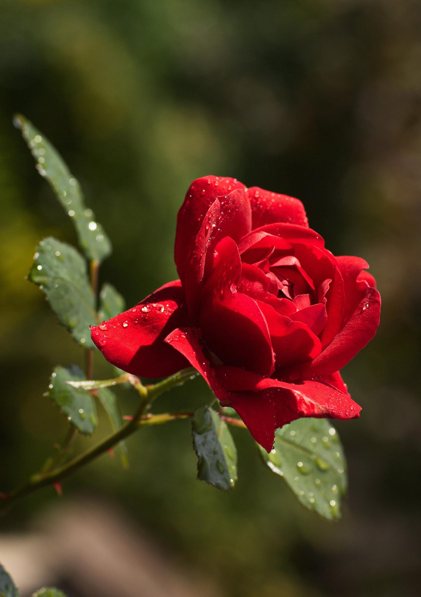 Klappkarte - Der Zauber der roten Rose